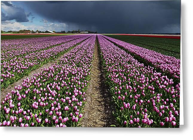Purple Tulips Field Greeting Card