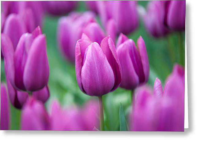 Purple Tulips Of Keukenhof Greeting Card