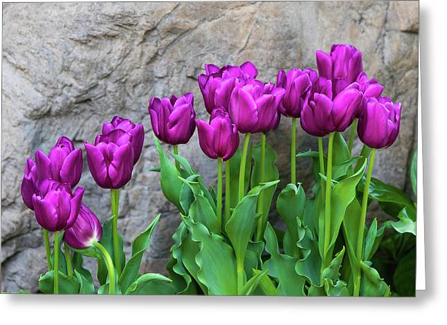 Purple Tulips Greeting Card by Tom Mc Nemar