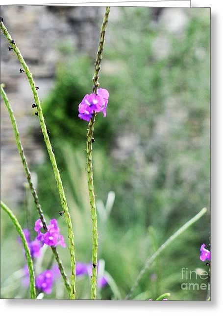 Purple Vebena Greeting Card