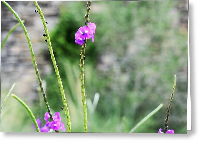 Greeting Card featuring the photograph Purple Vebena by James Fannin