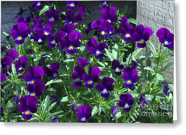 Purple Violas By The Fence Greeting Card by Sharon Talson