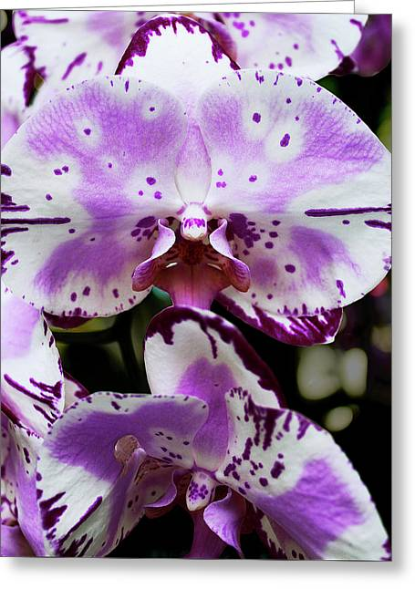 Purple And White Orchid Greeting Card