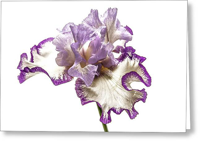 Purple White Iris Greeting Card