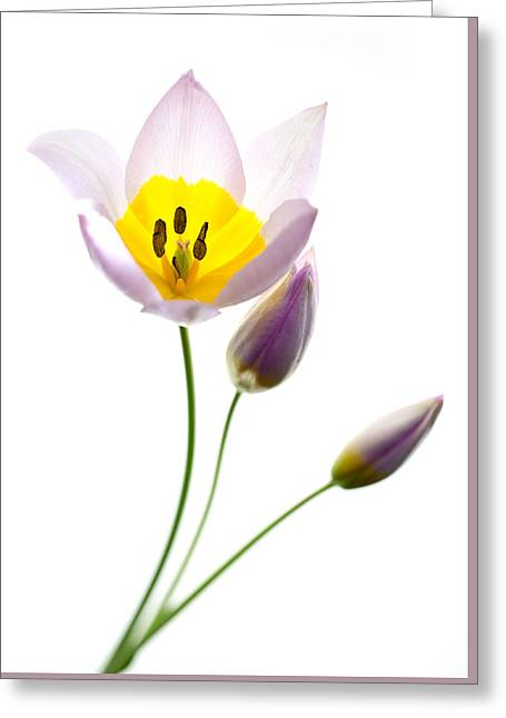 Purple Yellow Tulip 2 Greeting Card by Rebecca Cozart