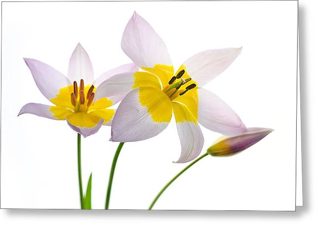 Purple Yellow Tulips 1 Greeting Card by Rebecca Cozart