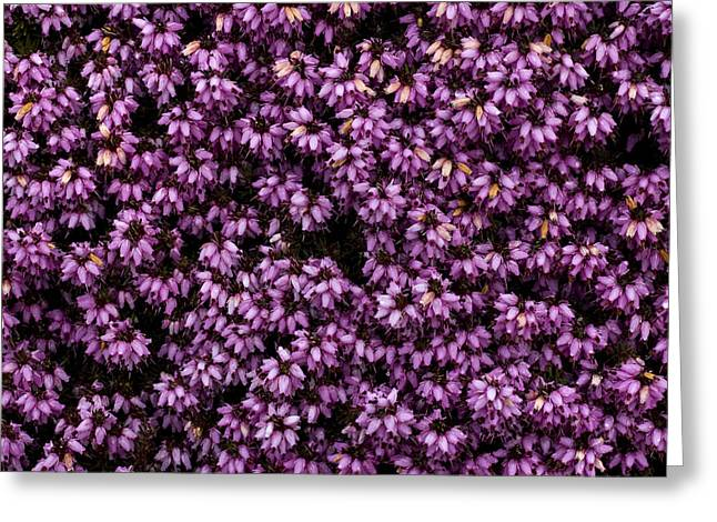 Purpleness Greeting Card by John Gusky