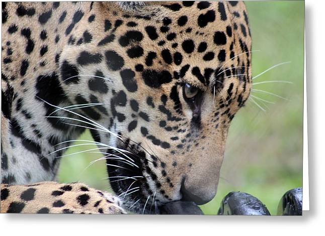 Jaguar And Toy Greeting Card