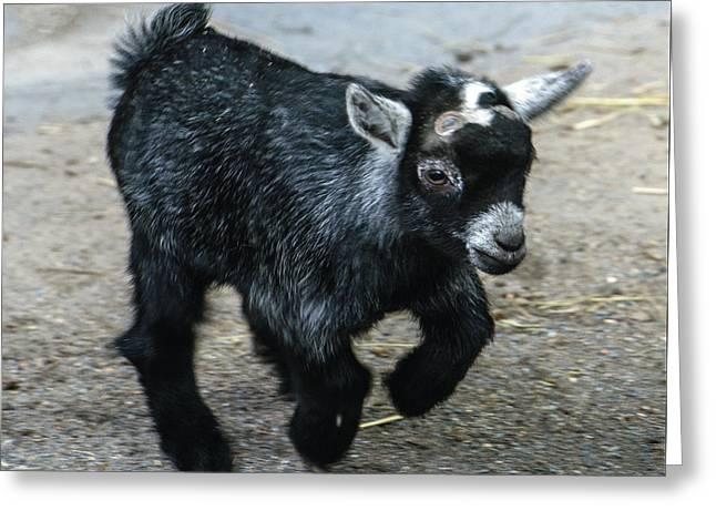 Pygmy Goat Kid Greeting Card