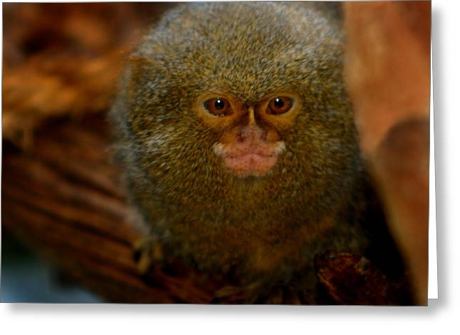 Pygmy Marmoset Greeting Card by Anthony Jones