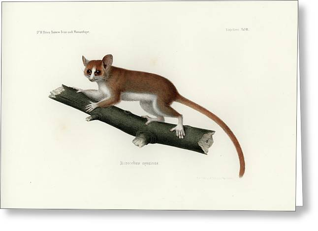 Pygmy Mouse Lemur Greeting Card by Hugo Troschel