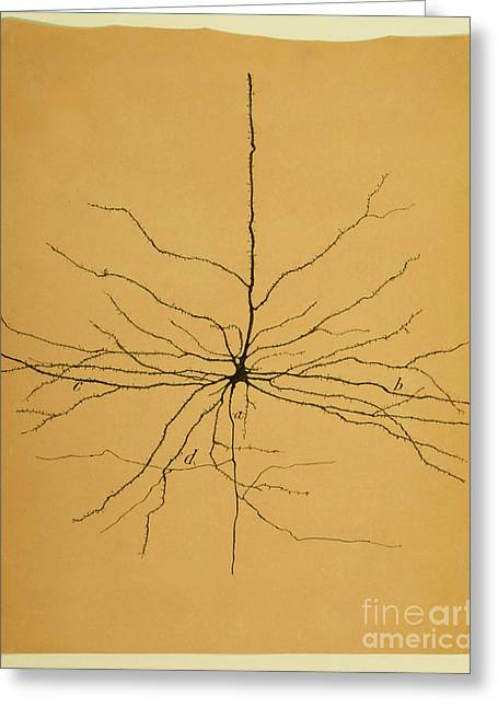 Pyramidal Cell In Cerebral Cortex, Cajal Greeting Card by Science Source