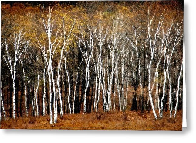 Quabbin Birches Greeting Card by Richard Danek