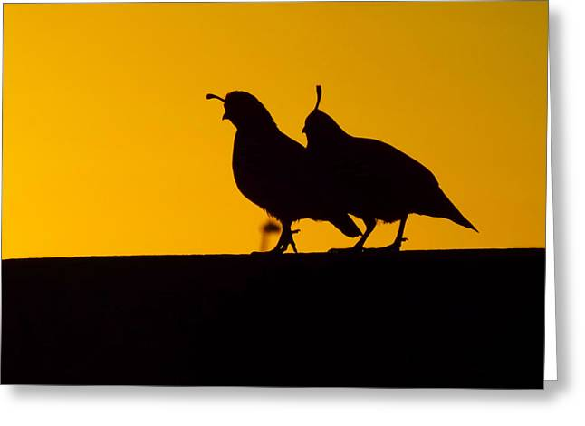 Quail At Sunset Greeting Card