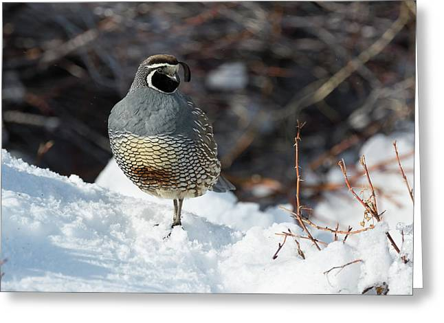 Quail Hollow Greeting Card by Scott Warner