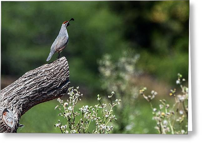 Quail Watching Greeting Card