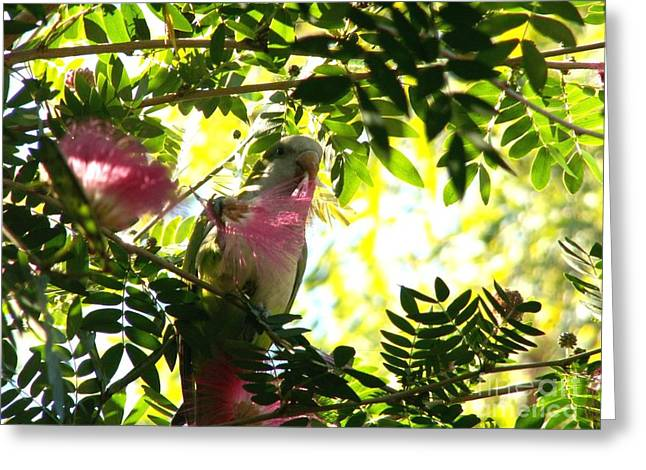Parrot With Flower Greeting Cards - Quaker Parrot with Mimosa Flower Greeting Card by Theresa Willingham