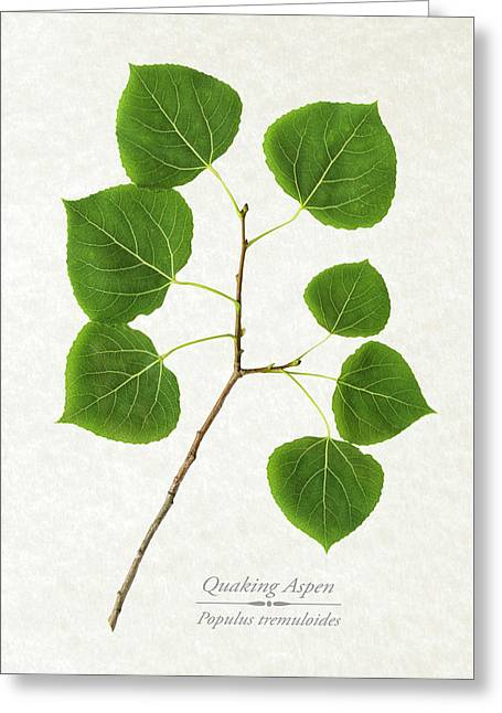 Quaking Aspen Greeting Card by Christina Rollo