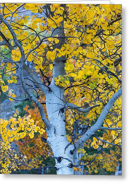 Quaking Aspen Greeting Card