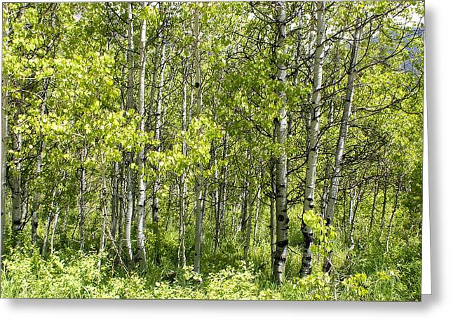 Quaking Aspens 2 Greeting Card by Cynthia Powell