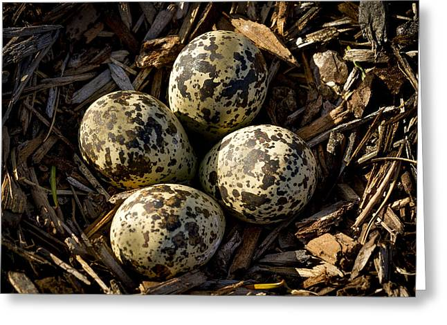 Quartet Of Killdeer Eggs By Jean Noren Greeting Card