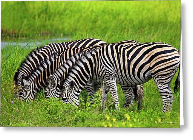 Quartet Of Zebras Grazing In Unison Greeting Card