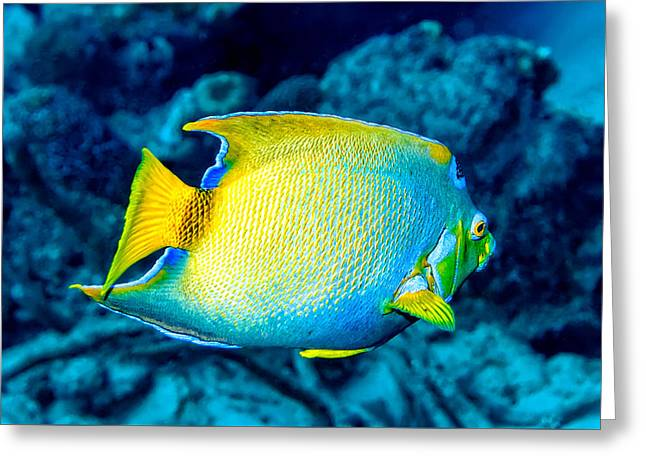 Greeting Card featuring the photograph Queen Angelfish II by Perla Copernik