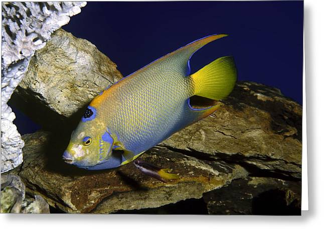 Queen Angelfish Greeting Card by Sally Weigand