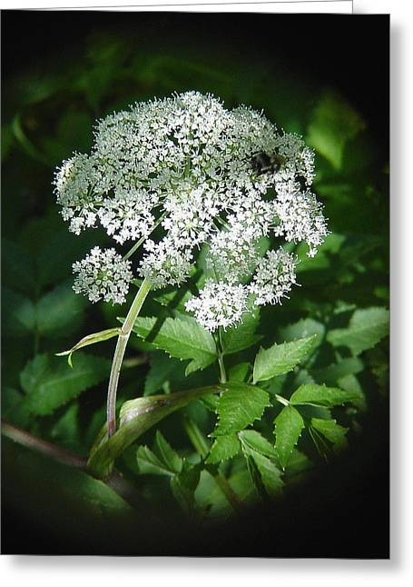 Queen Ann Lace Greeting Card