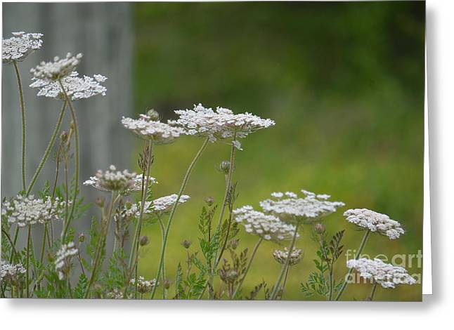 Queen Anne Lace Wildflowers Greeting Card by Maria Urso