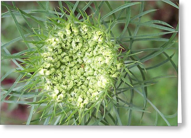 Queen Anne's Lace Greeting Card by Anna Villarreal Garbis