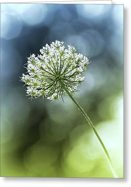 Queen Annes Lace Greeting Card by Carolyn Derstine
