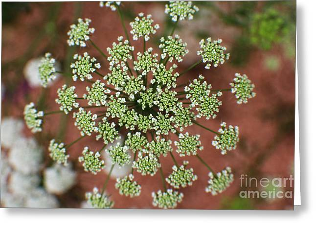 Queen Anne's Lace Greeting Card by Ella Kaye Dickey