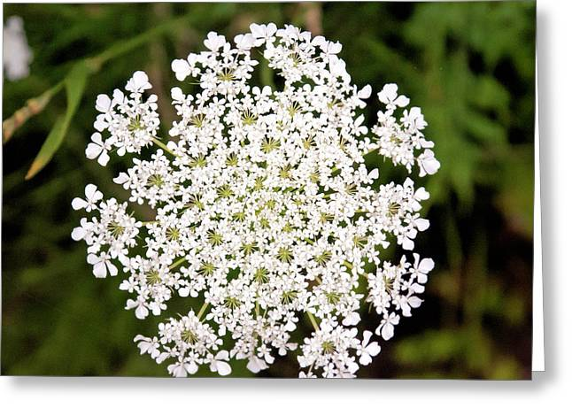 Queen Anne's Lace Greeting Card by Phyllis Taylor