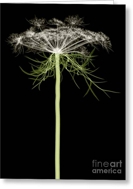 Queen Annes Lace, X-ray Greeting Card by Ted Kinsman