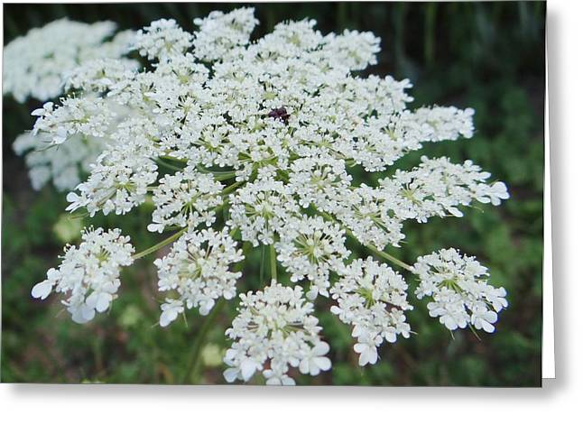 Queen Ann's Lace 2 Greeting Card