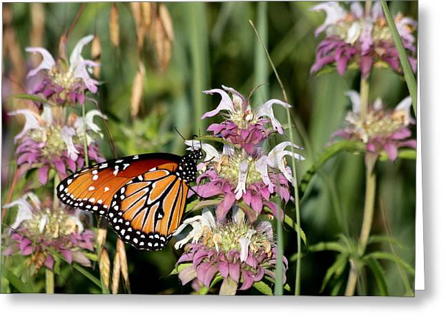Greeting Card featuring the photograph Queen Butterfly And Purple Wildflowers by Sheila Brown