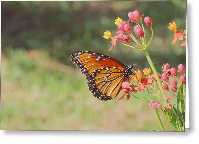 Queen Butterfly On Milkweed Greeting Card