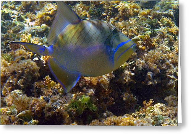 Queen Triggerfish Greeting Card