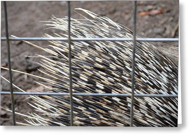 Quills Of An African Porcupine Greeting Card by Linda Geiger