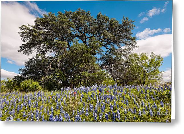 Quintessential Texas Hill Country County Road Bluebonnets And Oak - Llano Greeting Card by Silvio Ligutti