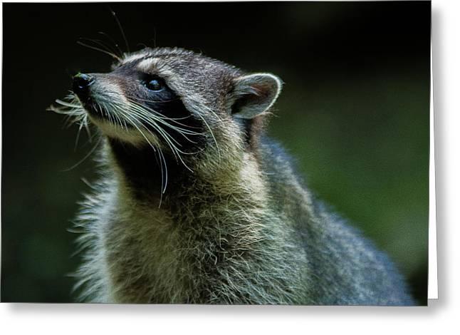 Raccoon 1 Greeting Card