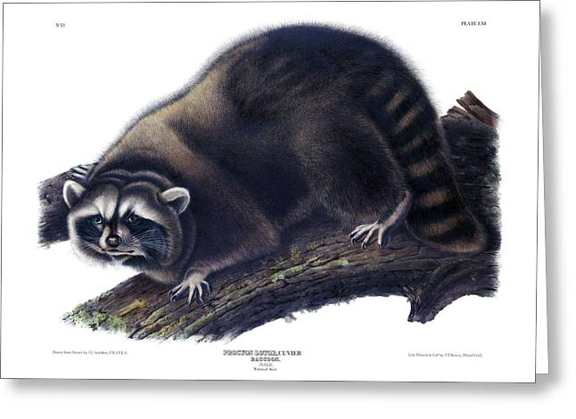 Raccoon Antique Print Audubon Quadrupeds Of North America Plate 61 Greeting Card by Orchard Arts