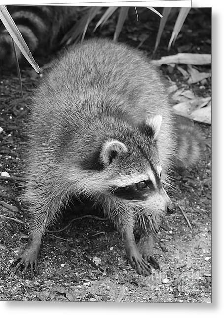 Raccoon - Black And White Greeting Card