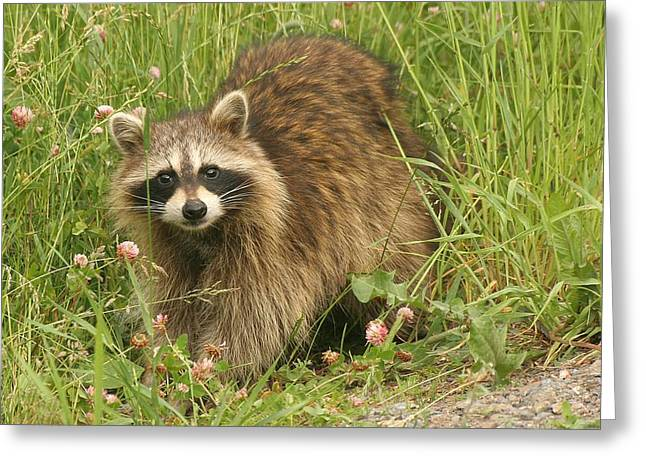 Greeting Card featuring the photograph Raccoon  by Doris Potter