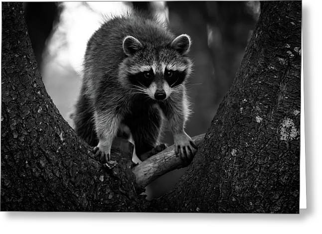 Raccoon In A Tree Greeting Card by Bob Orsillo