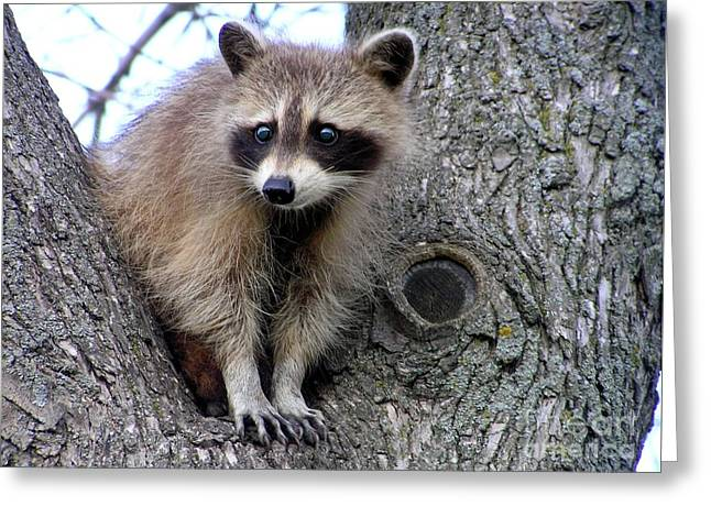 Raccoon Lookout Greeting Card