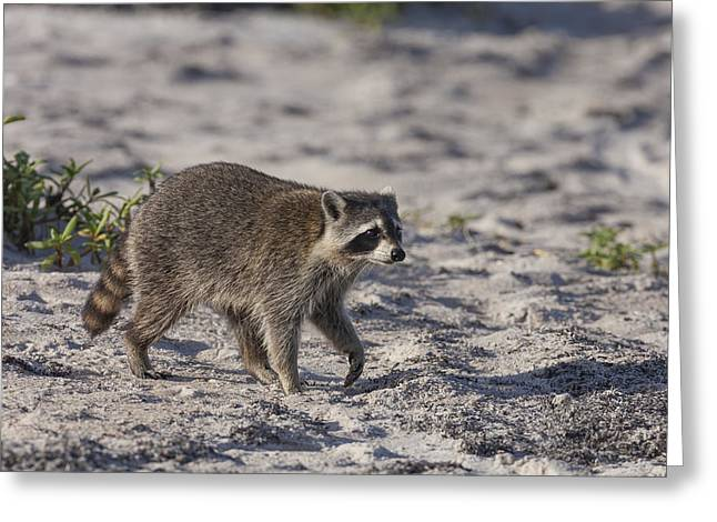 Raccoon On The Beach Greeting Card