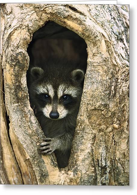 Cute Tree Images Greeting Cards - Raccoon Procyon Lotor Baby Peering Greeting Card by Konrad Wothe
