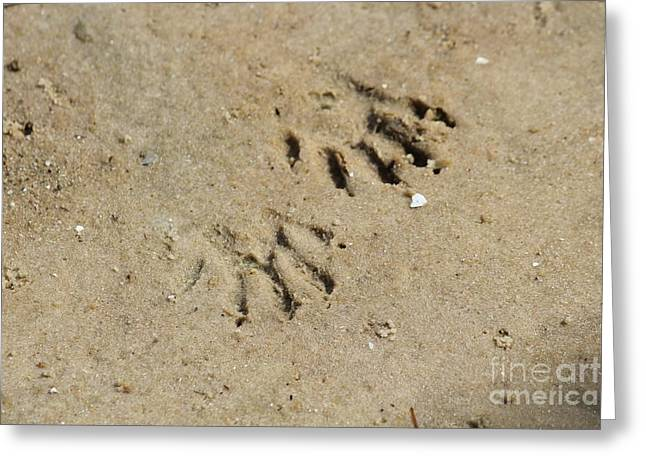 Raccoon Tracks In The Sand Greeting Card